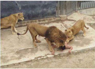 ชายหนุ่มคิดสั้นฆ่าตัวตาย กระโดดลงไปในกรงสิงโต ในสวนสัตว์ แต่ผลที่ได้…